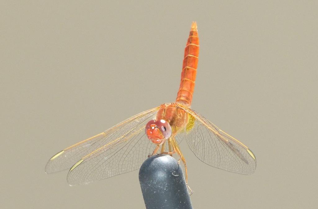26 June - Little orange helicopter
