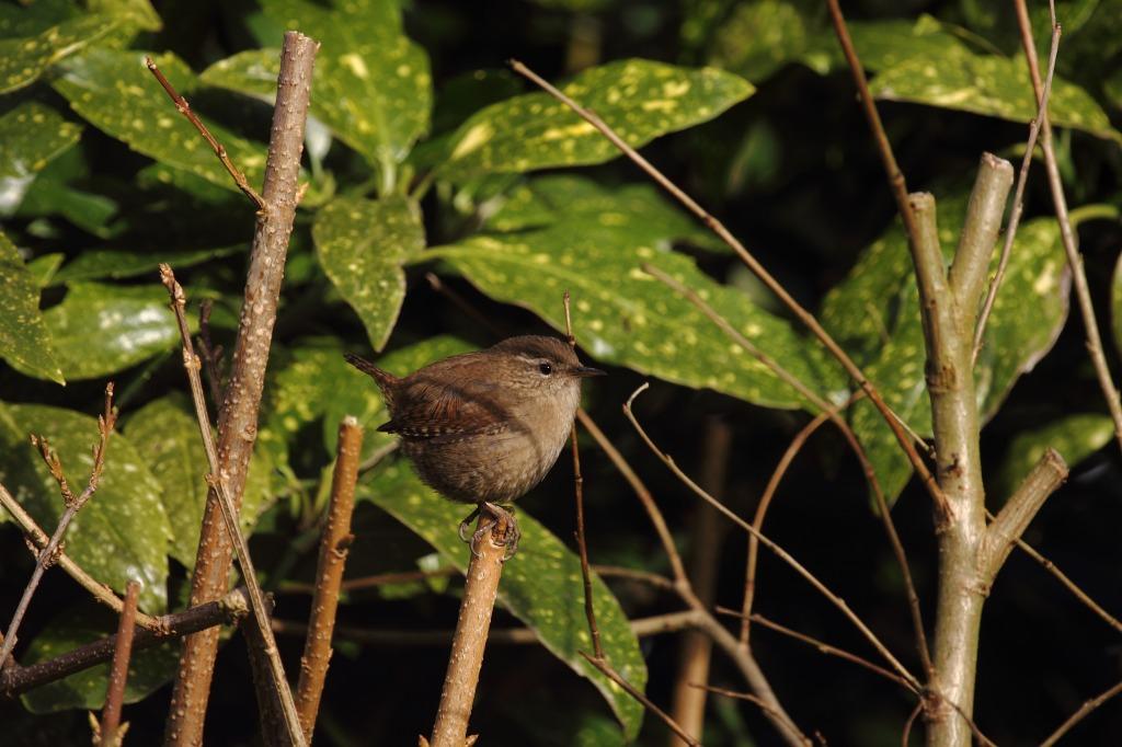 30 July - Baby wren