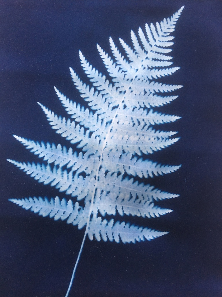 22 July - Cyanotype fern