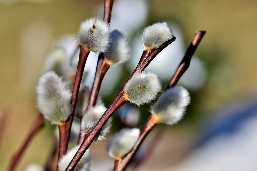 14 February - You wooed me with catkins