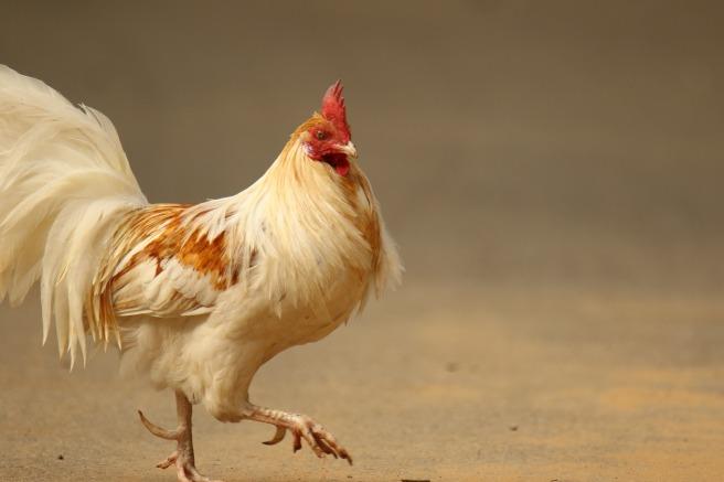 10 March - Chicken chic