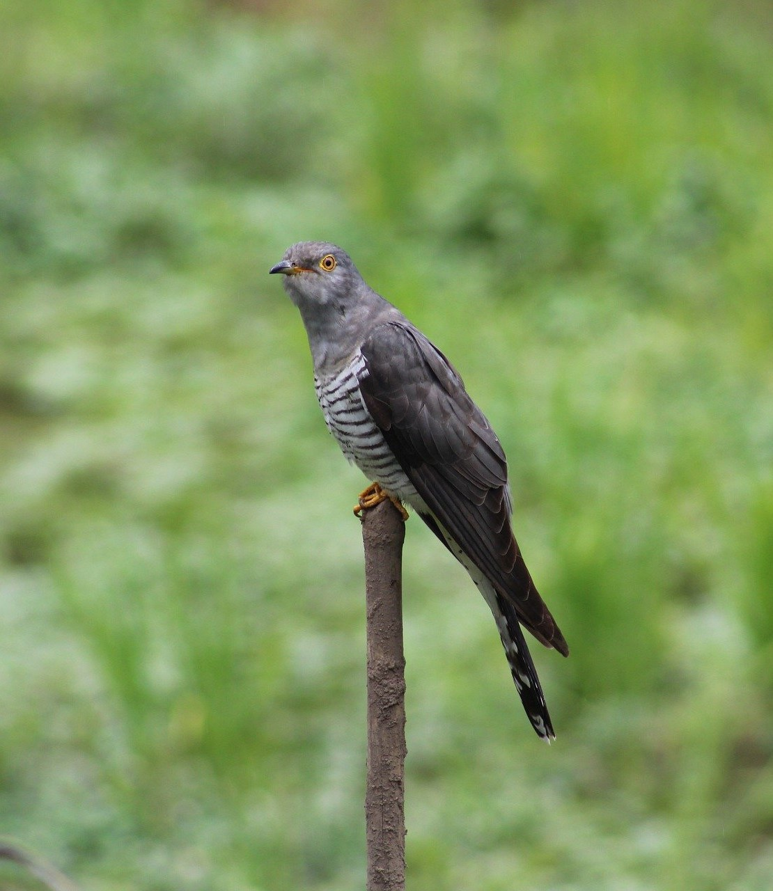 6 May - Cuckoo? Where are you? - 2